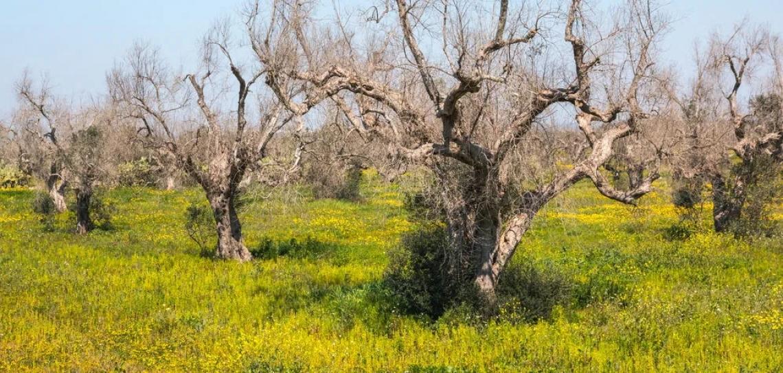 Istituito il Comitato di Sorveglianza per la rigenerazione olivicola della Puglia