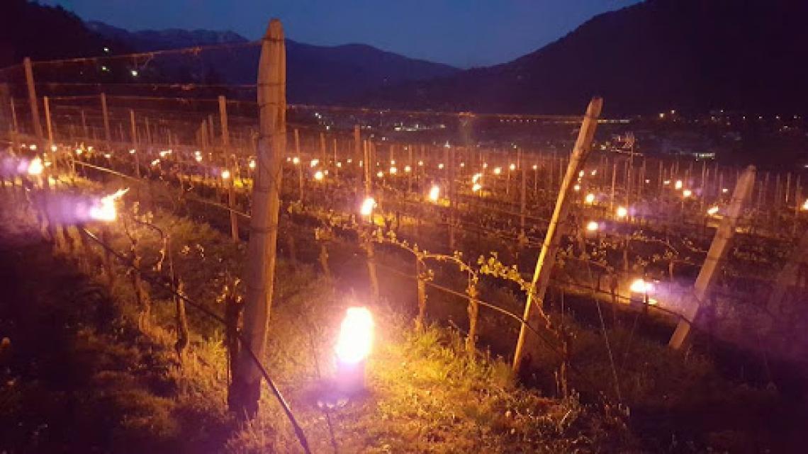 Nel Trentino mele e vino a rischio per gelate e Covid19