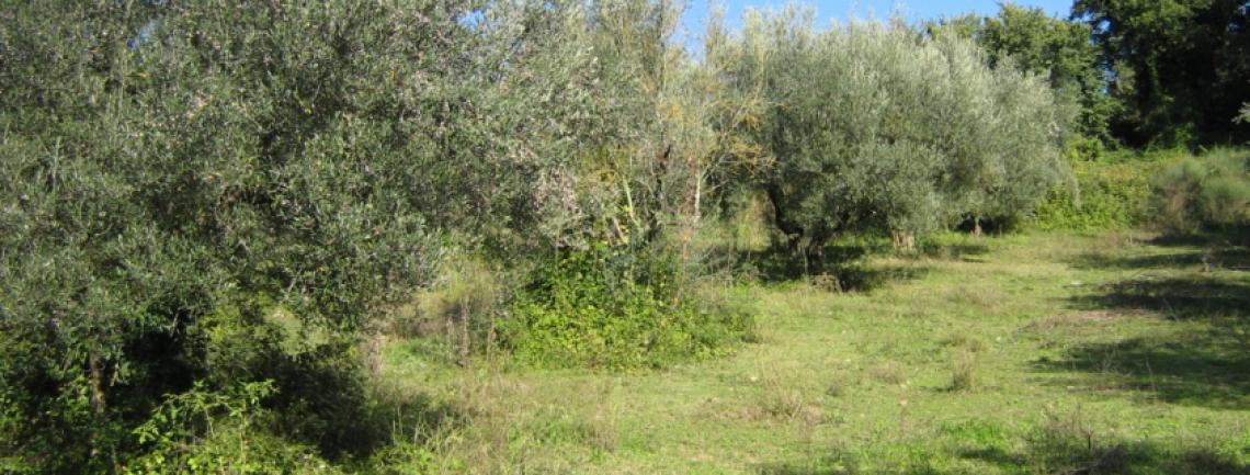 La superficie olivicola mondiale diminuisce di 200 mila ettari