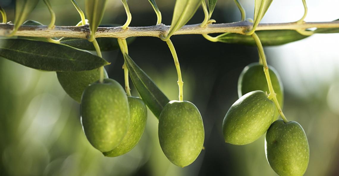 Saldo positivo di 11 mila ettari olivetati in Spagna nel 2018