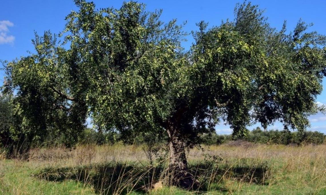 Olivares Vivos ricorda l'importanza dell'inerbimento per preservare il suolo dell'oliveto