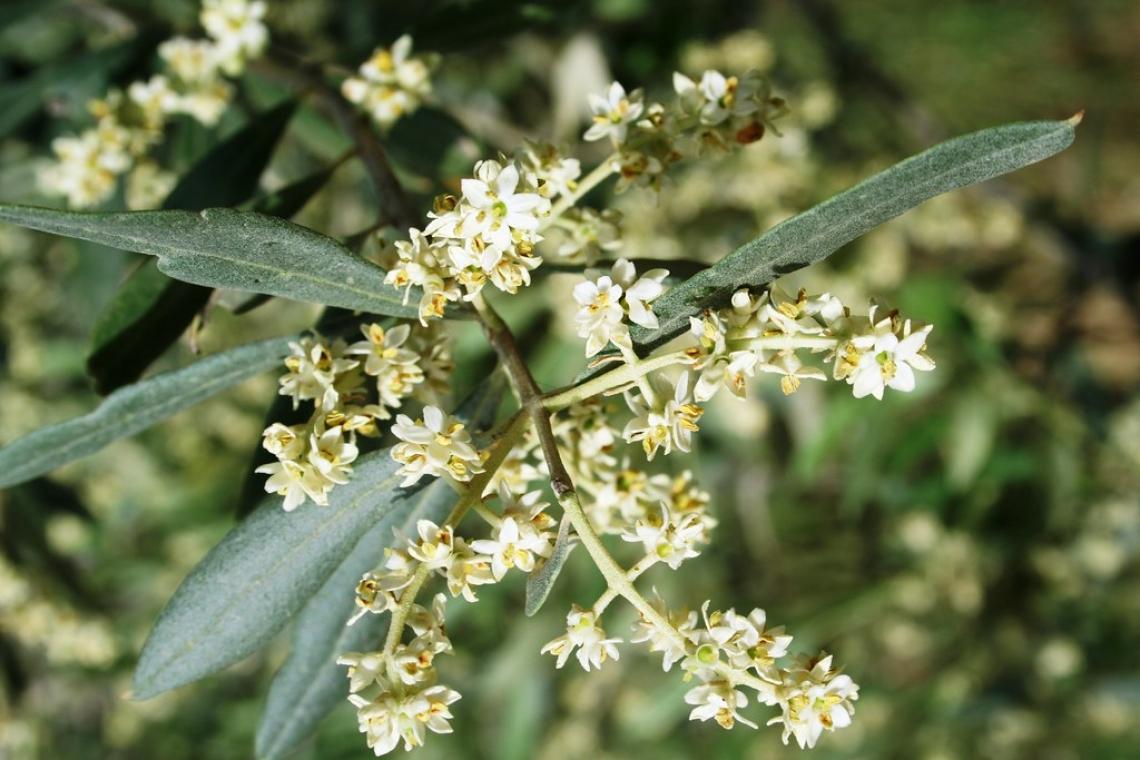 Tutto quello che non vi hanno mai detto degli effetti del boro sull'olivo