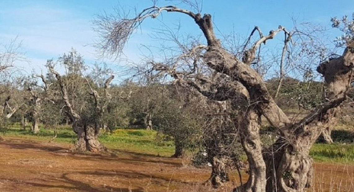 Pochi oliveti senza interventi contro Xylella fastidiosa in Puglia