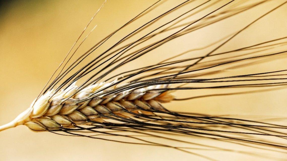 Dalla storia del grano duro italiano i segreti genetici per una pasta più nutriente e sostenibile