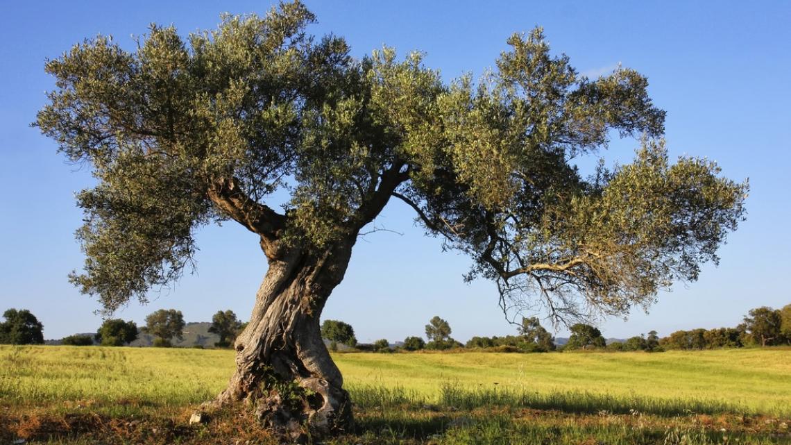 Dalla letteratura i segreti dell'olivo per una felice libido