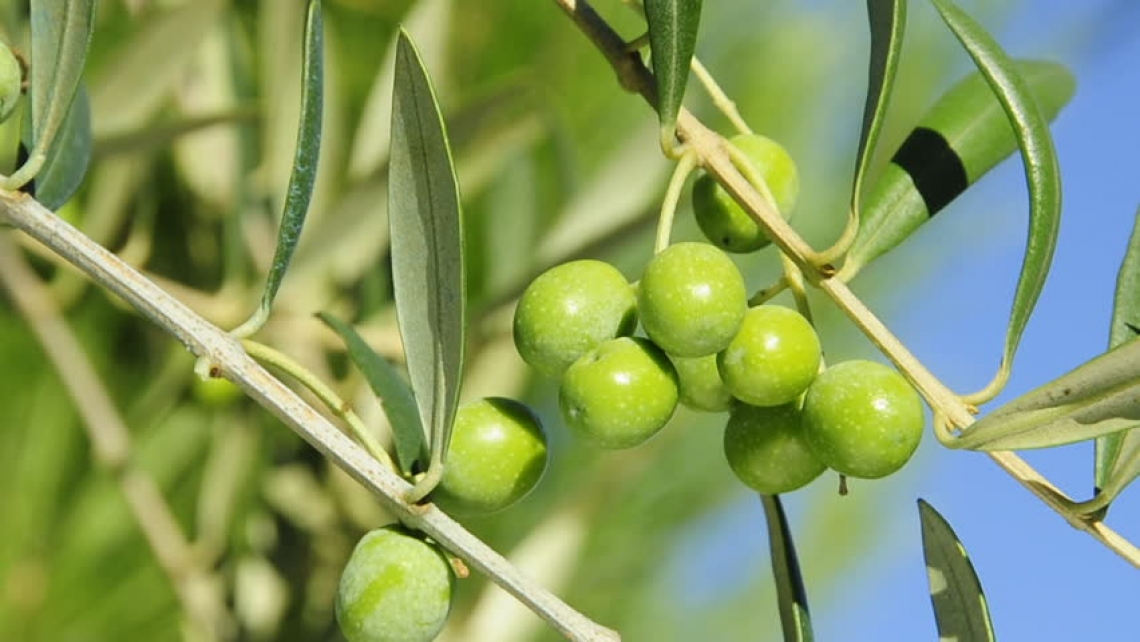 Come cambia la composizione degli acidi grassi e il contenuto di antiossidanti nelle olive a seguito dell'applicazione di fitoregulatori