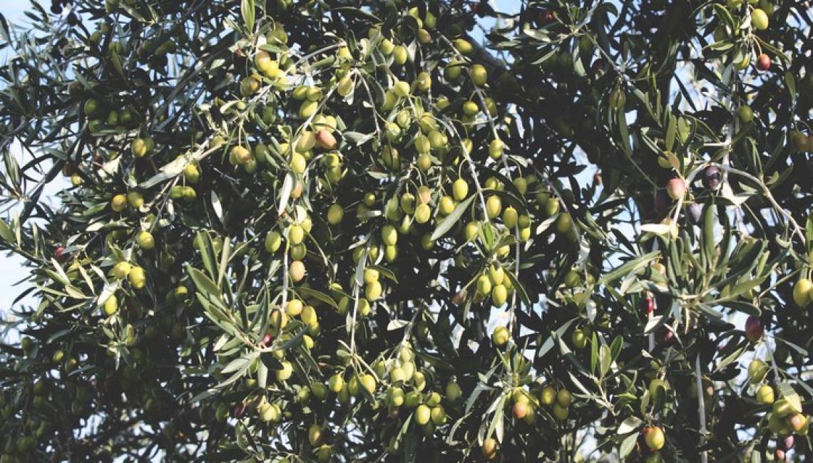 Nello stomaco l'olio extra vergine di oliva vede migliorare le sue proprietà salutistiche