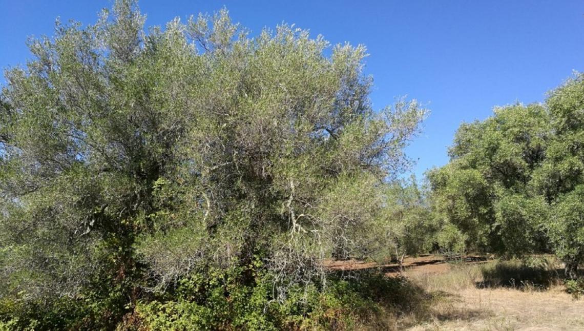 La potatura di riforma dell'olivo non può essere lasciata a metà