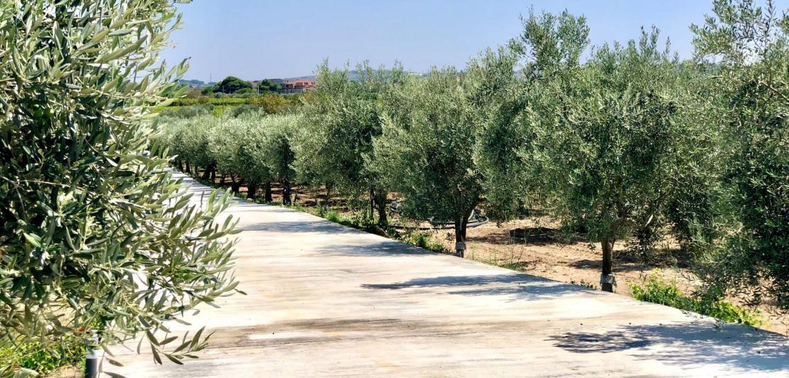 L'olio d'oliva siciliano piegato dal coronavirus