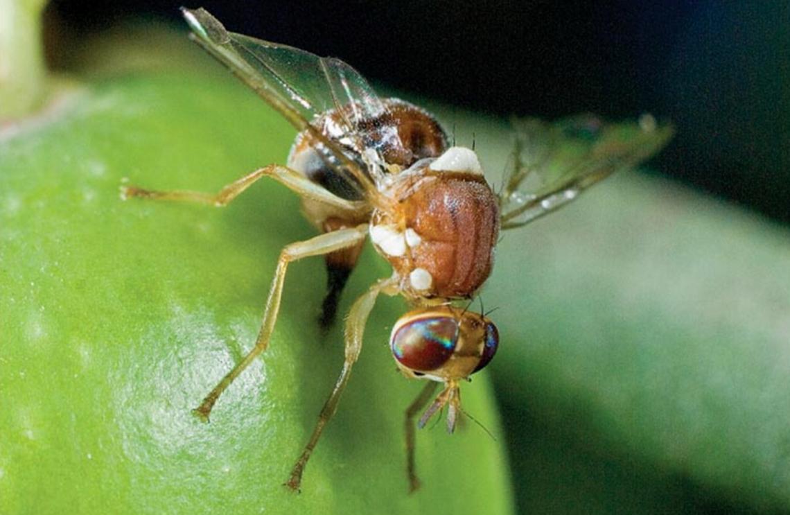 La resistenza della mosca dell'olivo allo spinosad, principio attivo dello Spintor Fly