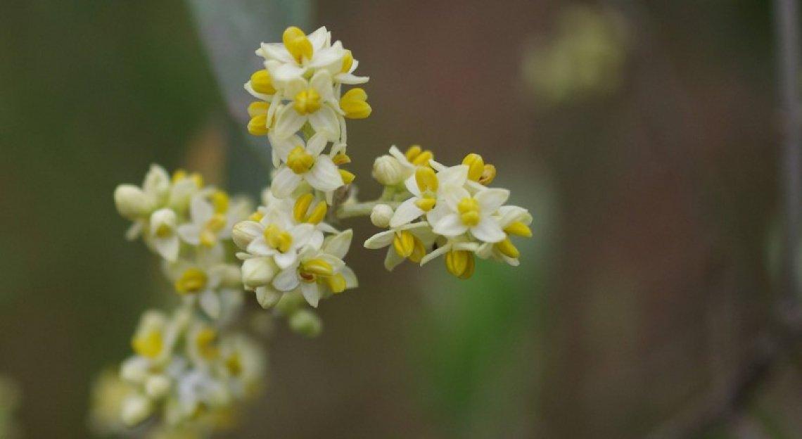 Il trattamento con boro post fioritura è utile all'allegagione?