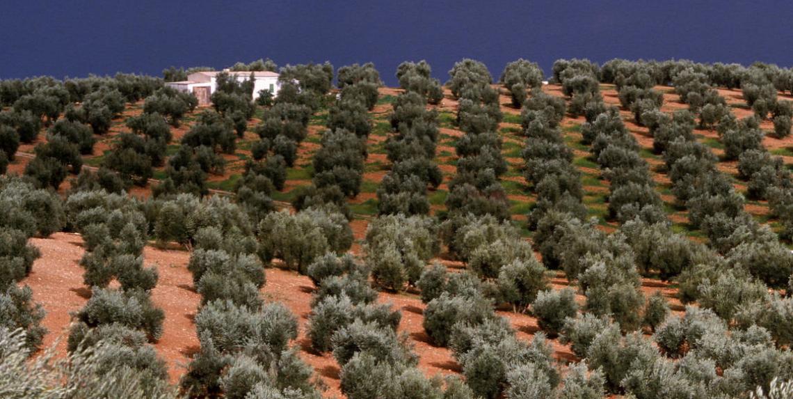La produttività degli oliveti in Spagna e Italia scenderà anche del 45% nei prossimi anni