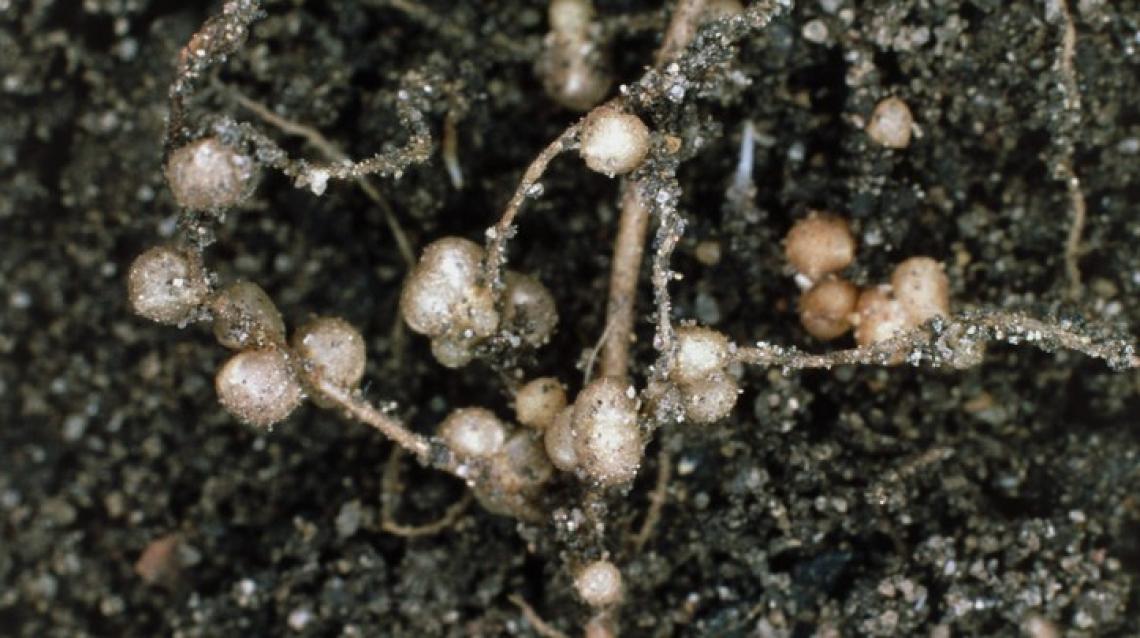 Nelle radici delle leguminose un aiuto all'agricoltura sostenibile