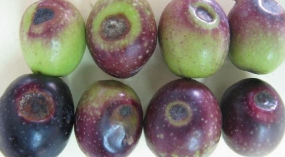 La stretta correlazione tra la mosca delle olive e l'infezione fungina da Camarosporium dalmaticum