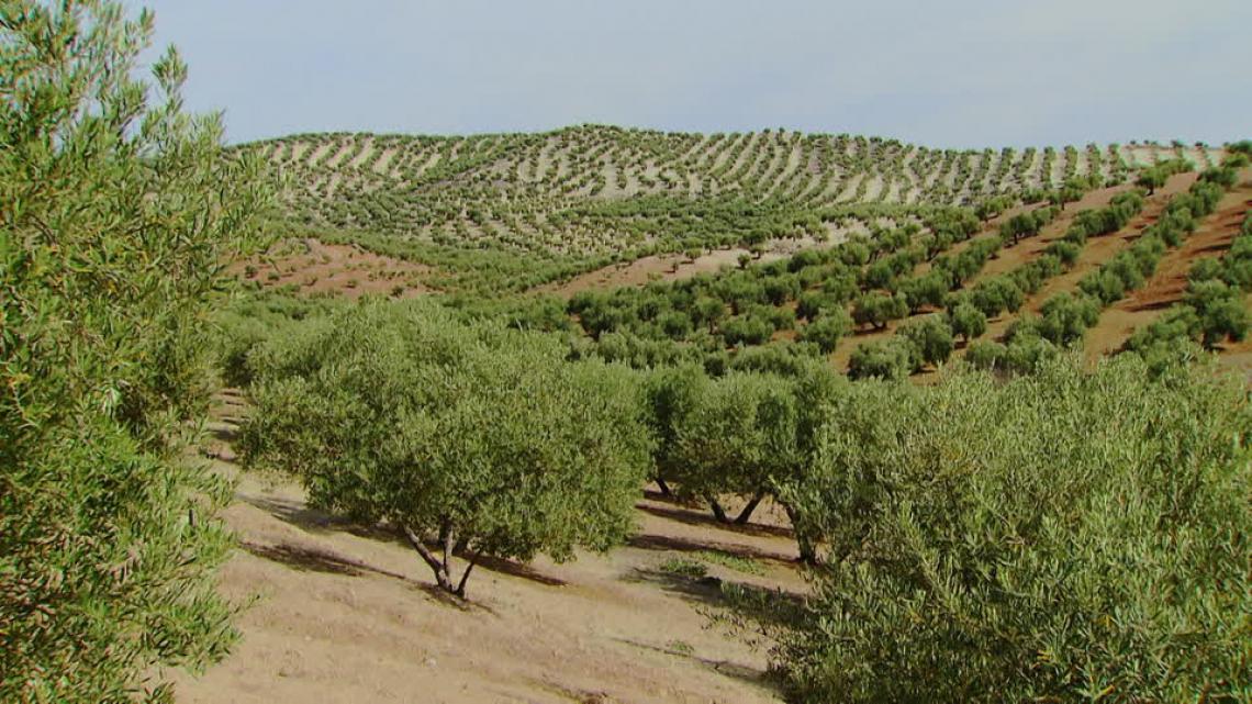 Per salvare l'olivicoltura tradizionale spagnola torna di moda la consociazione