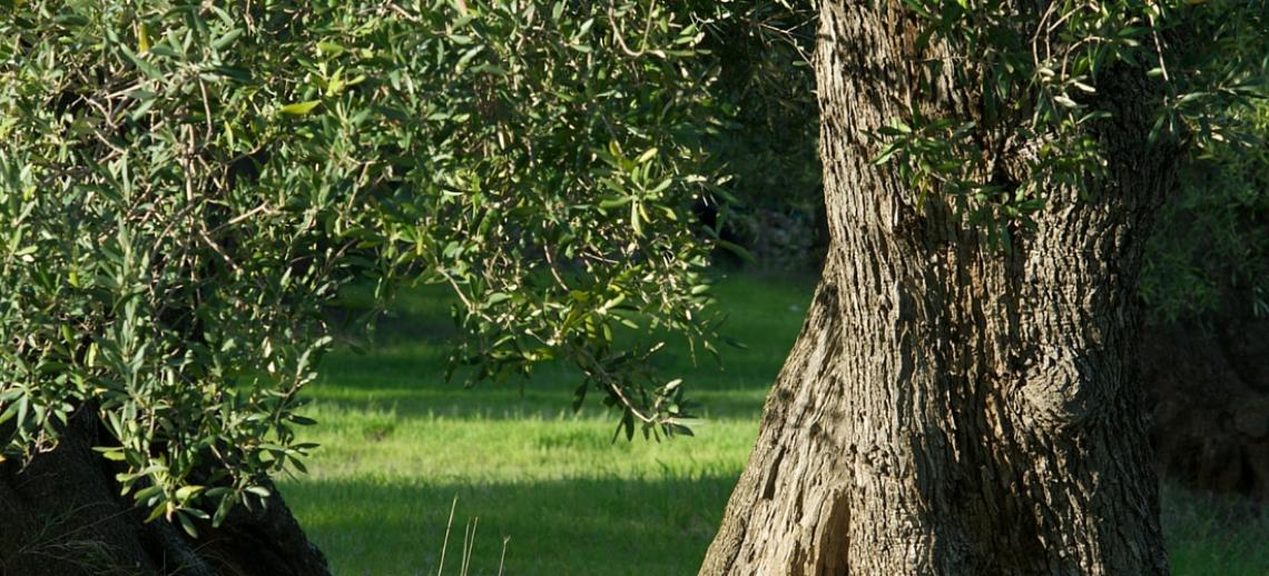L'importanza della sostanza organica e dell'acido umico sulla produttività dell'olivo