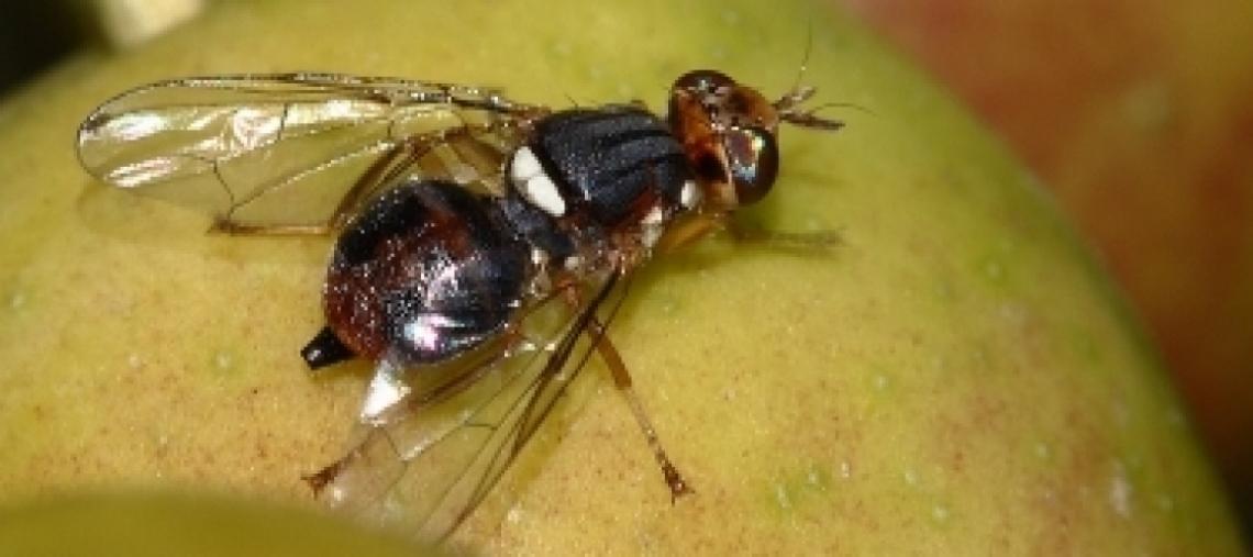 Proroga operativa per il dimetoato contro la mosca delle olive