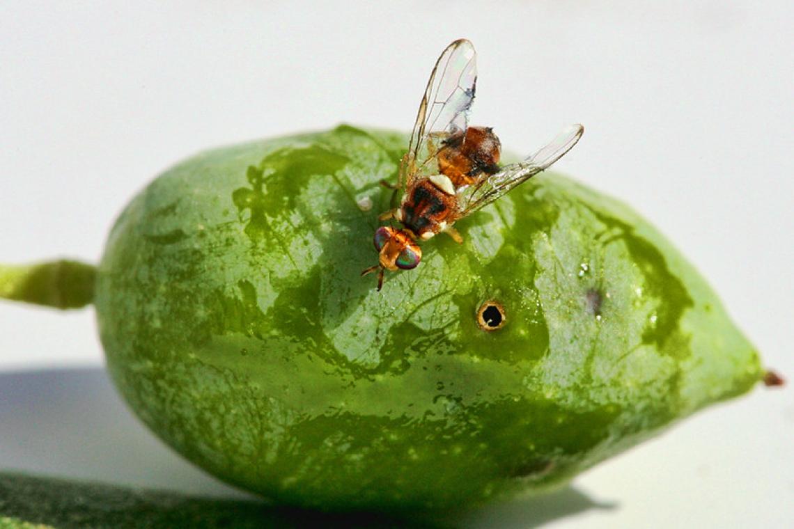 I colpi di calore possono davvero controllare l'infestazione di mosca delle olive?