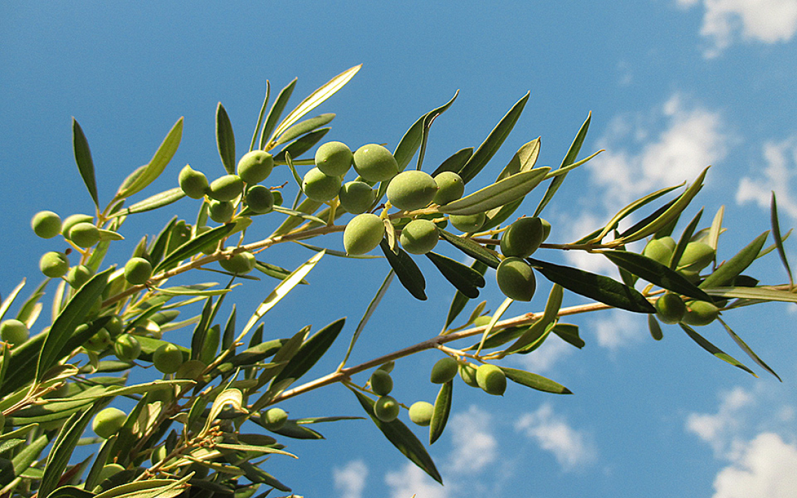 Per aumentare il contenuto in olio delle olive occorre dar luce ai frutti