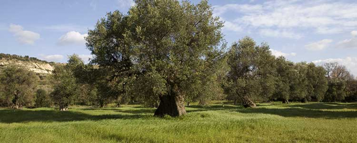L'olivicoltura italiana deve conservare l'identità delle nostre cultivar e la qualità del nostro olio