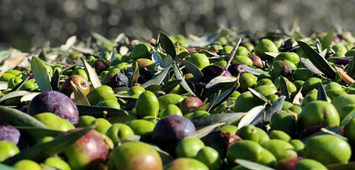 Il telefono cellulare per determinare il contenuto di olio e acqua dell'oliva