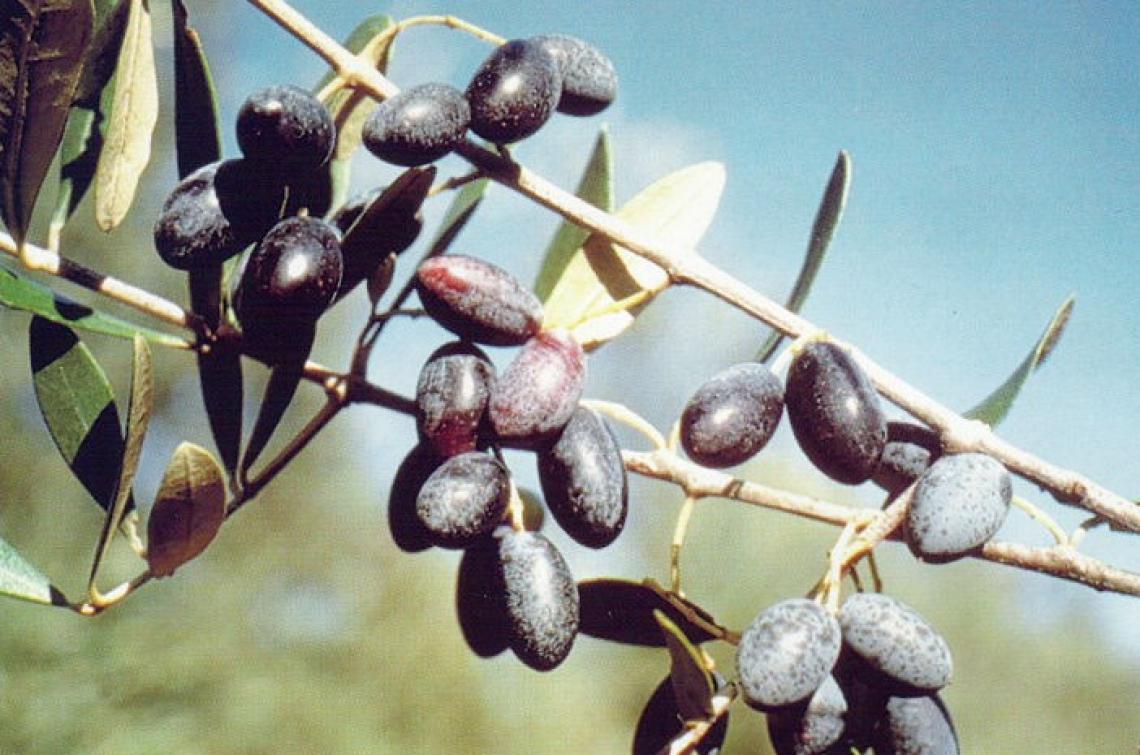 Il potenziale inespresso delle varietà d'olivo minori della Calabria