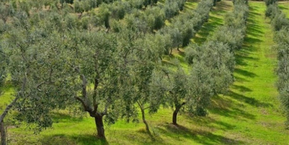 Gli olivicoltori spagnoli non sostengono la svolta green e biologica