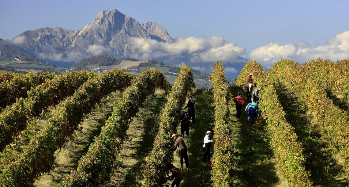 Per la vendemmia 2020 blocage e riduzione delle rese del 15% in Abruzzo