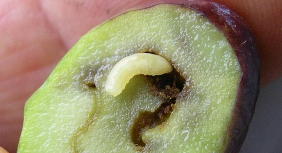 Mosca delle olive: proroga dimetoato non sufficiente, prodotto introvabile e mancano alternative