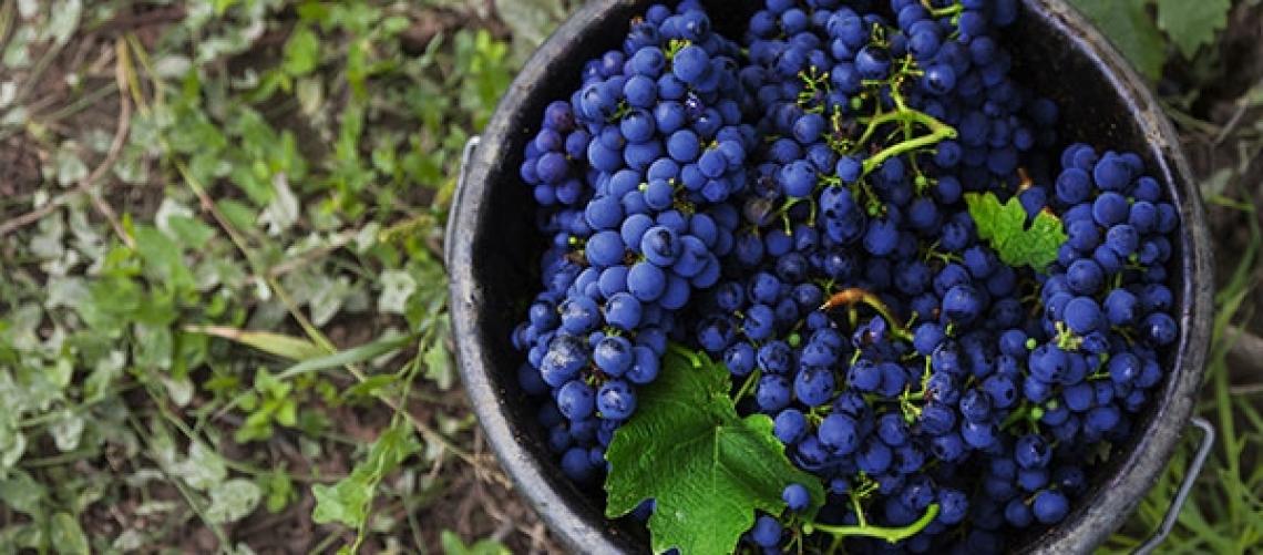 Effetto del lato della chioma sulle caratteristiche sensoriali dei vini Pinotage e Cabernet Sauvignon