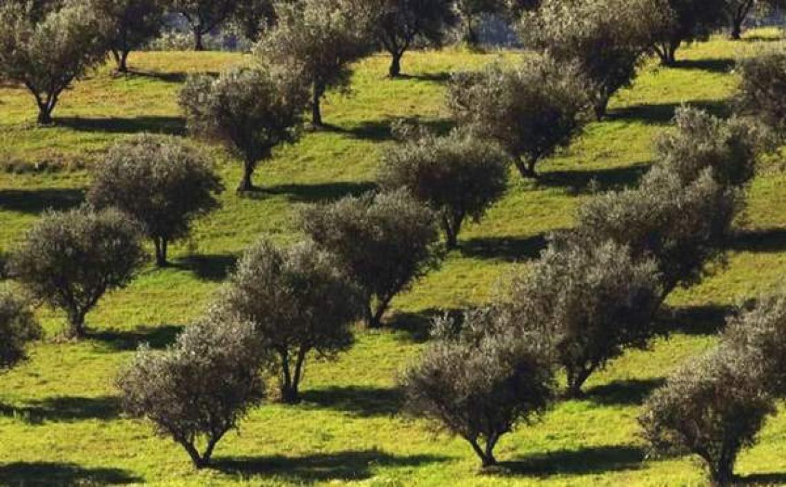 Gli effetti benefici della gestione sostenibile dell'oliveto si vedono nel lungo periodo