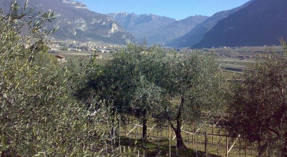 Il Nord-est Italia potrebbe festeggiare una buona campagna olearia