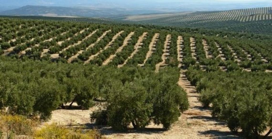 Meno di tremila ettari, solo lo 0,6% dell'olivicoltura andalusa è superintensiva