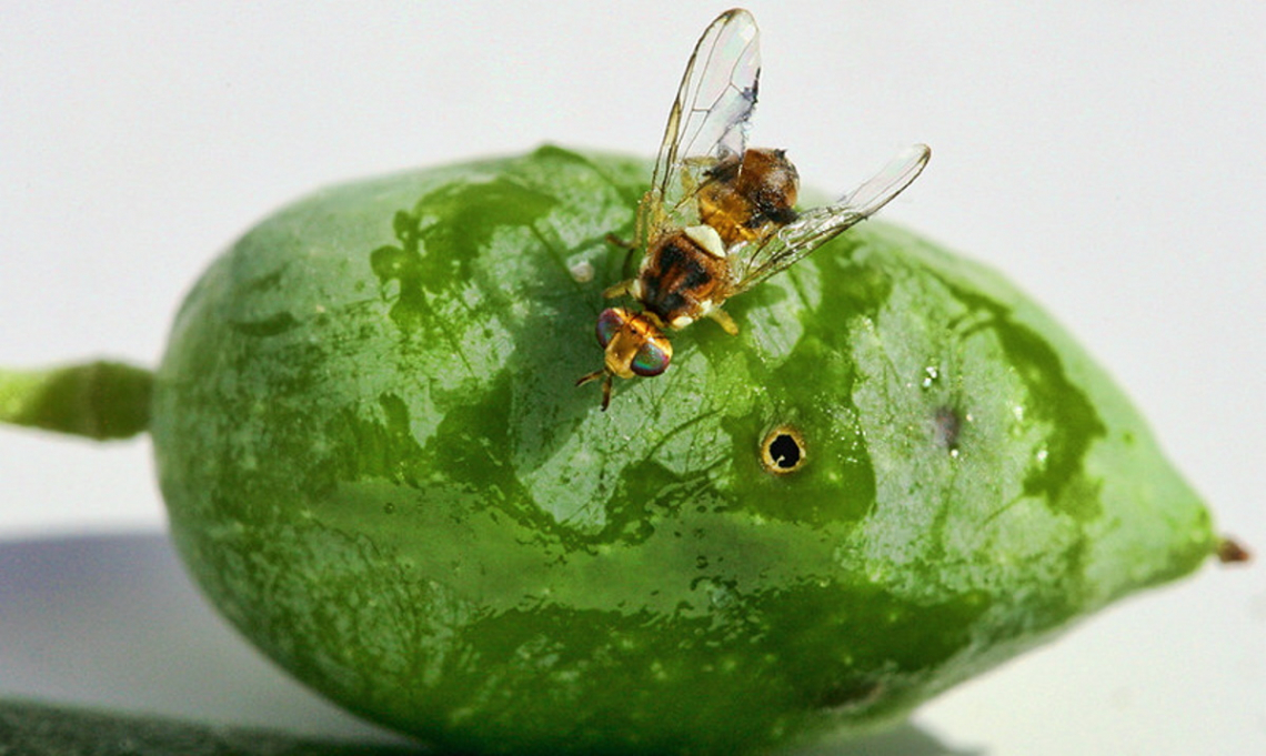L'influenza dell'infestazione da mosca delle olive sulla qualità dell'olio extra vergine d'oliva è sopravvalutata