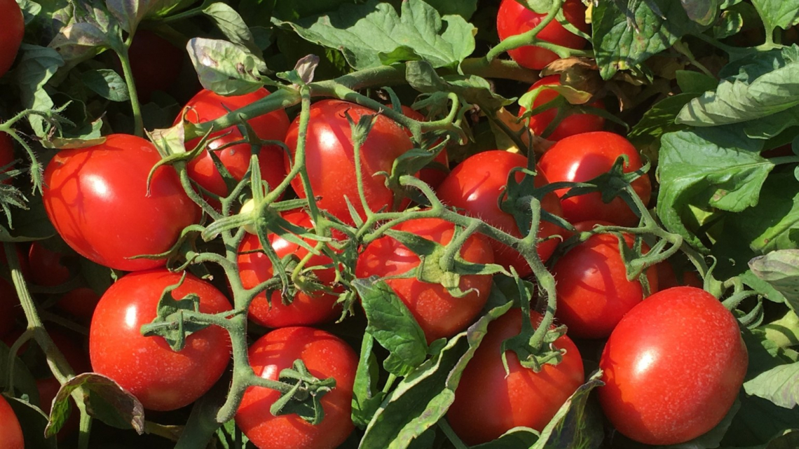 Troppo caldo anche per i pomodori, lessati in campo dal sole e spaccati dalla pioggia