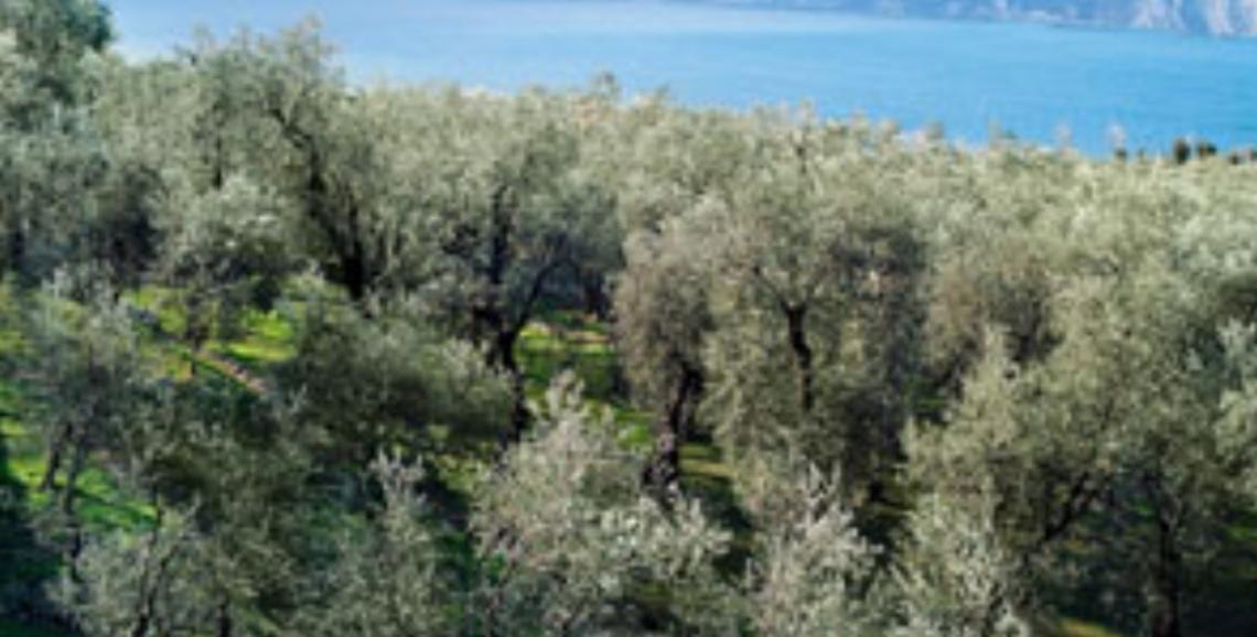 La Lombardia scommette sulla propria olivicoltura e sui propri frantoi