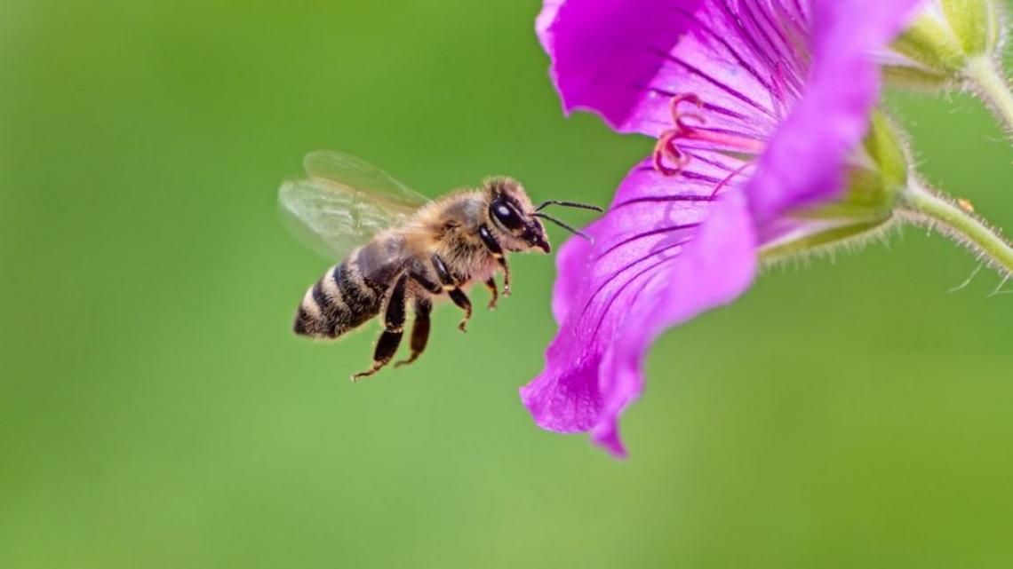 Il veleno delle api è miracoloso: può curare il tumore al seno