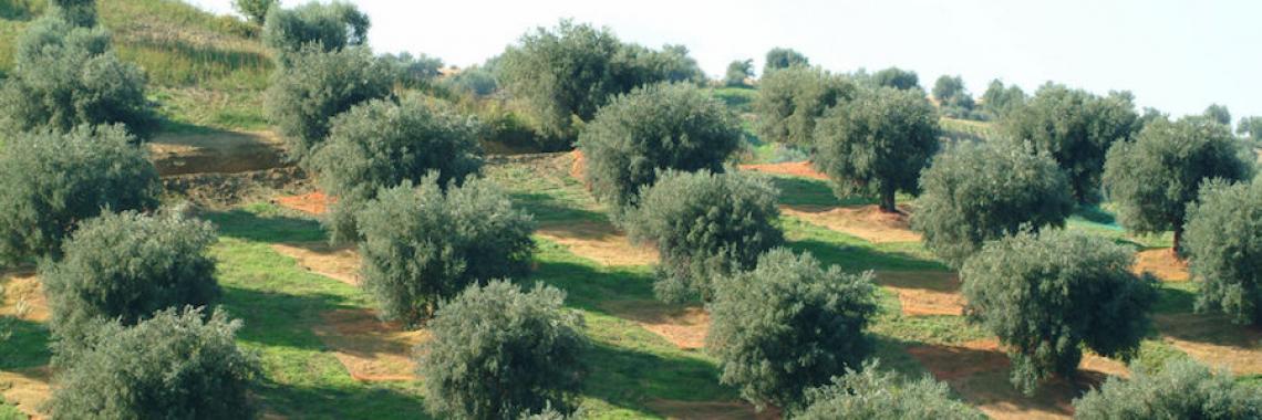Per aumentare la produttività dell'oliveto serve la potatura minima in climi aridi