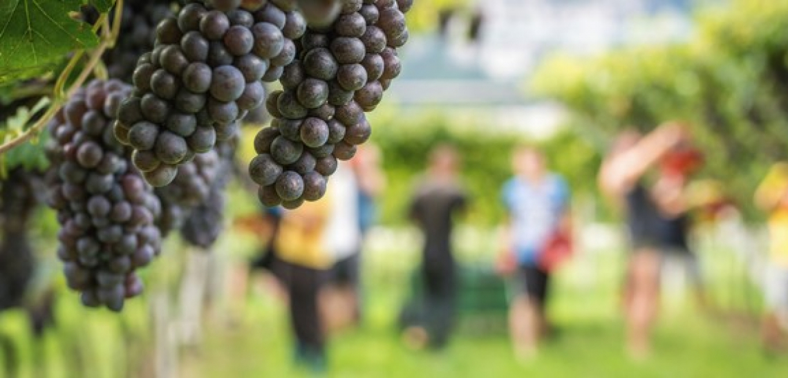 Ottima qualità ma diminuisce la quantità per il Pinot Grigio delle Venezie