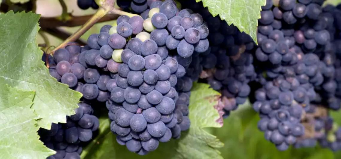 Nessun vitigno italiano tra quelli con il maggior incremento di superficie