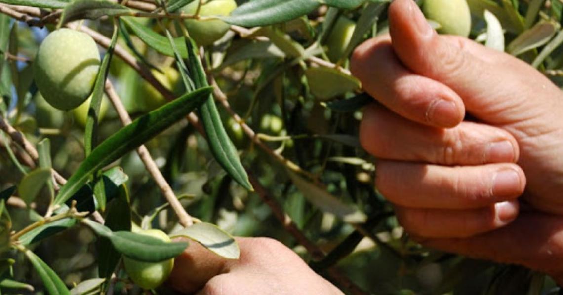 Garanzie per 140 milioni di euro a favore delle OP olivicole italiane