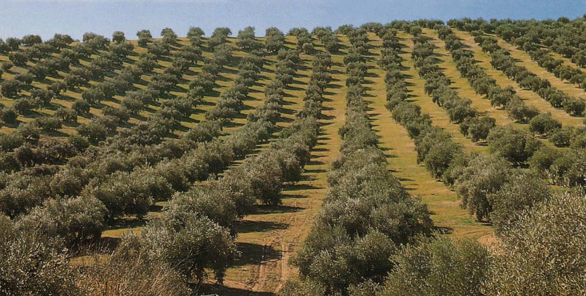 Un oliveto superintensivo e un oliveto biologico intensivo richiedono lo stesso numero di giornate lavorative
