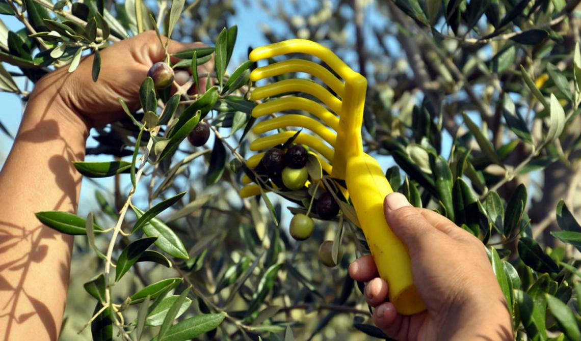 La grande variabilità nei costi di raccolta delle olive e l'incidenza sul prezzo dell'olio extra vergine di oliva