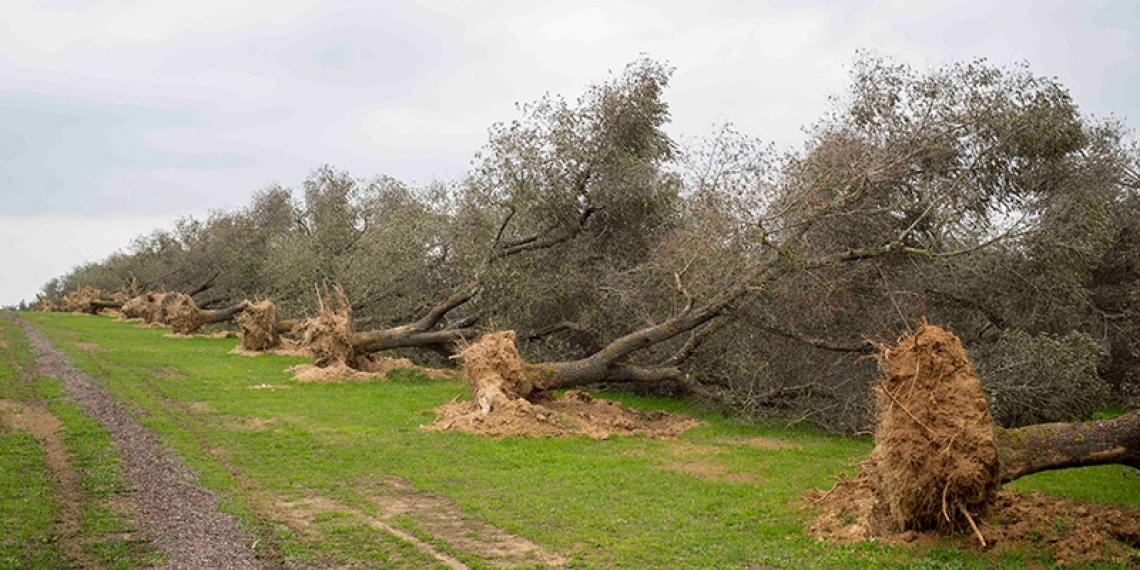 Coldiretti si schiera contro la Regione Puglia sul bando per la rigenerazione post Xylella