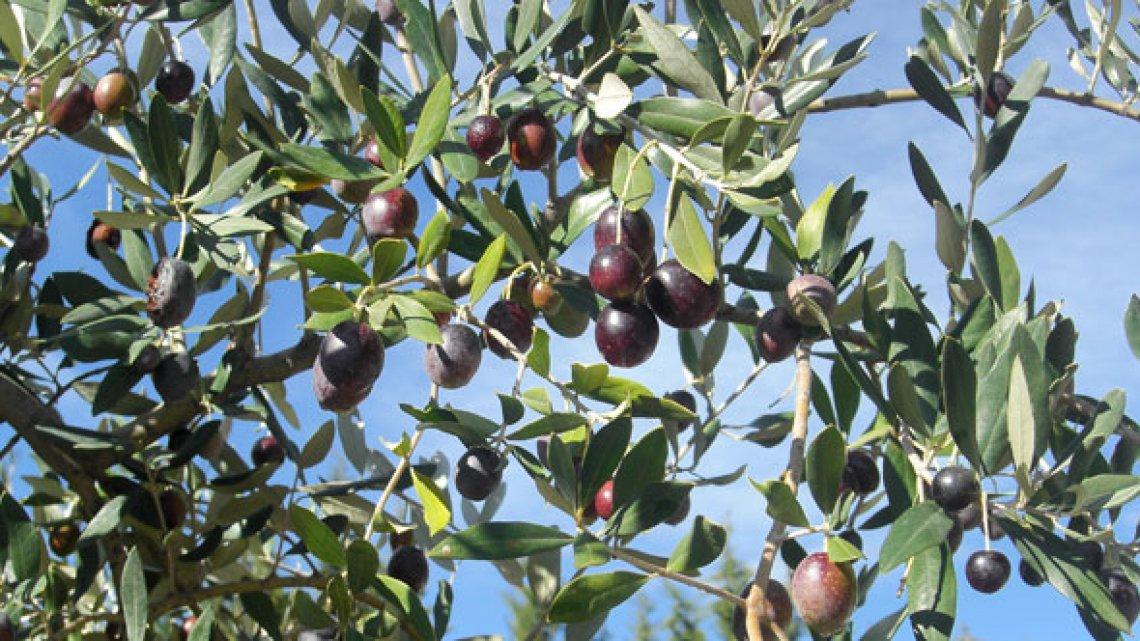 Il metodo del DNA per riconoscere l'oliva Taggiasca è ufficiale