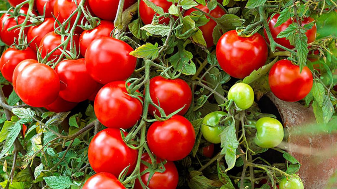 Un nuovo pomodoro resistente alla siccità, ai patogeni e ricco di vitamina C