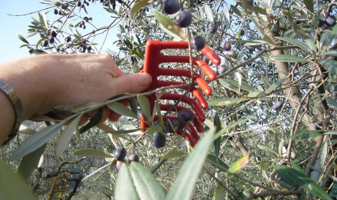 Produzione olearia italiana in affanno: ottima qualità ma scarsa quantità al sud