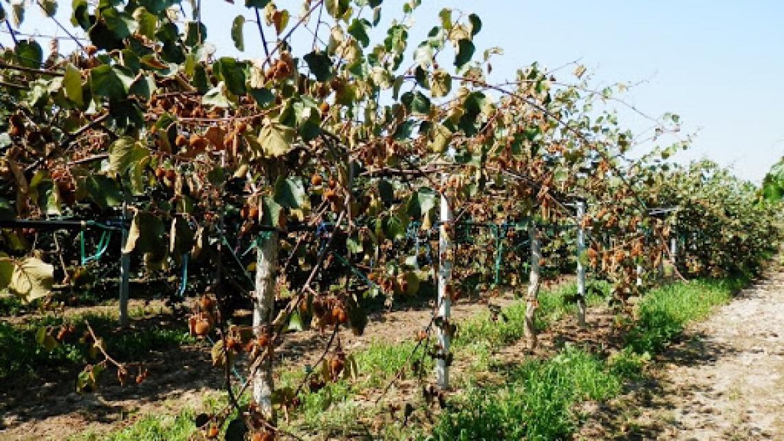 Il kiwi italiano è in pericolo per una nuova fitopatia