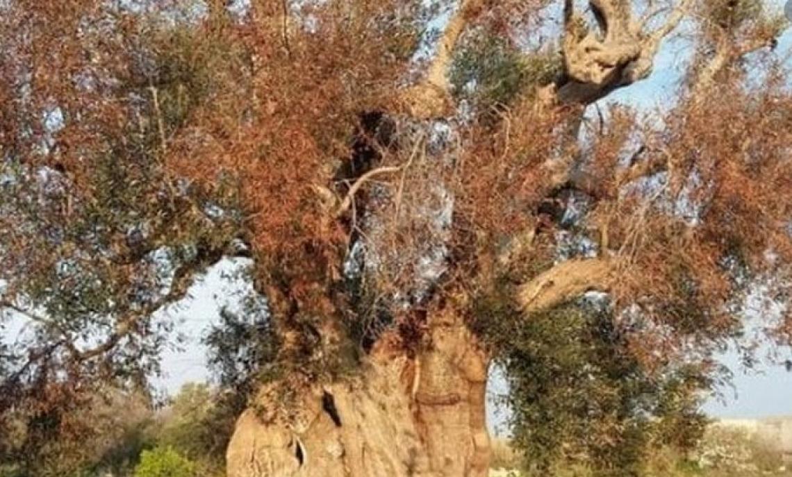 I 300 milioni per Xylella fastidiosa devono andare direttamente agli olivicoltori