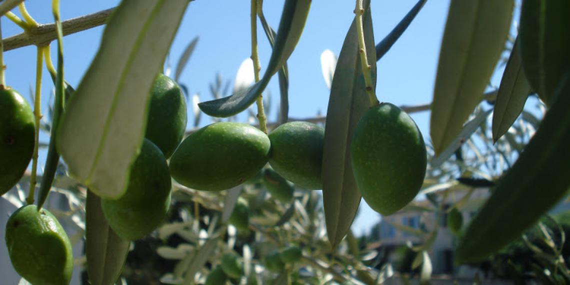 Il presente e il futuro dell'olio d'oliva in Israele
